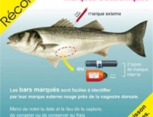 Campagne de marquage de bars en mer d'Iroise : premier bilan